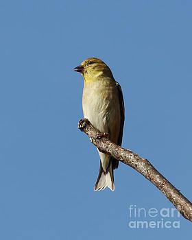 Goldfinch Perch by Anita Oakley