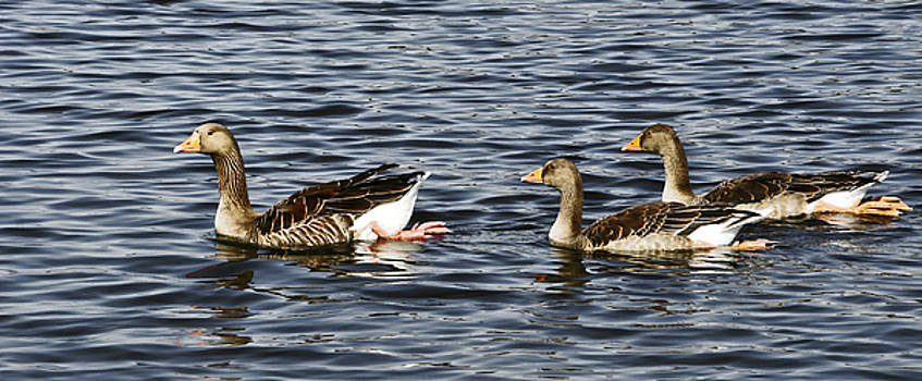 Goose family by Ursula Gill