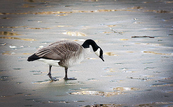 Goose On Ice by Ray Congrove