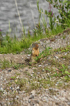 Gopher in close up by Patricia Hofmeester