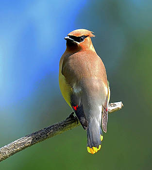 Gorgeous Cedar Waxwing by Rodney Campbell