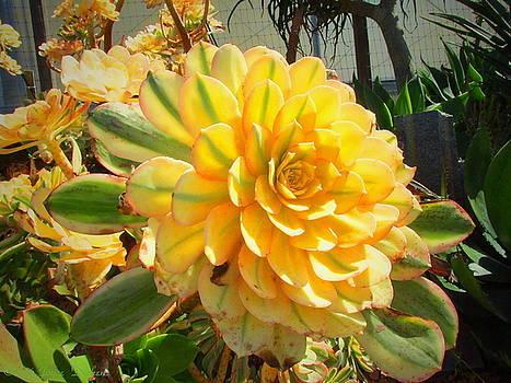 Joyce Dickens - Gorgeous Succulents