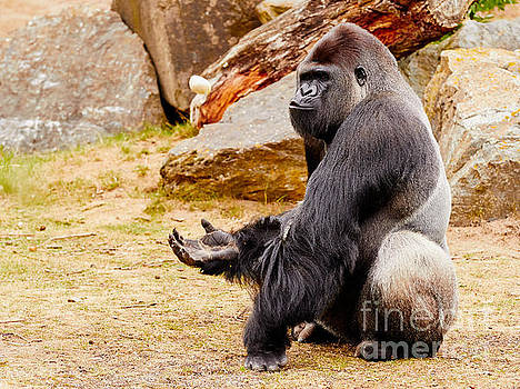 Nick  Biemans - Gorilla sitting upright holding his hand up