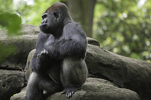 Gorilla thoughts and expressions by Inc Pics Studios