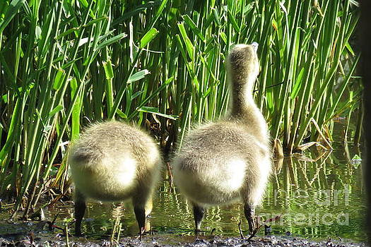 Goslings At the Watering Hole by Selma Glunn