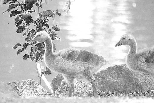 Goslings BW2  by Clarice Lakota