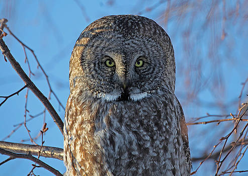Graceful Grey Owl by Sam Amato