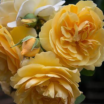 Graham Thomas rose by Jocelyn Friis