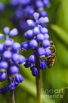 Grape Hyacinth and Bee by Tamara Becker