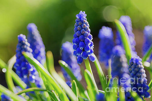 Grape Hyacinth Muscari by Verena Matthew