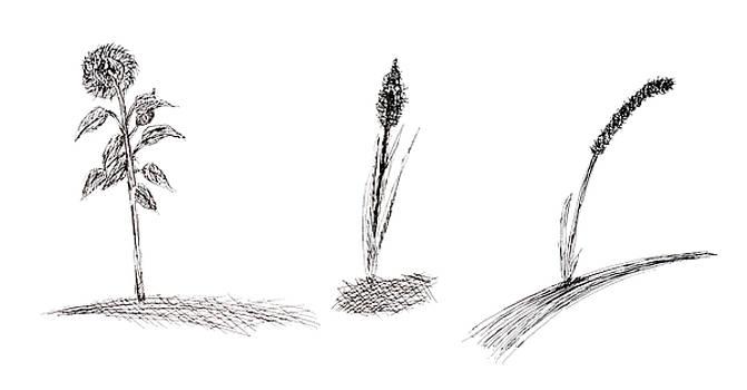 Grass abd sunflower isolated by Aleksandr Volkov