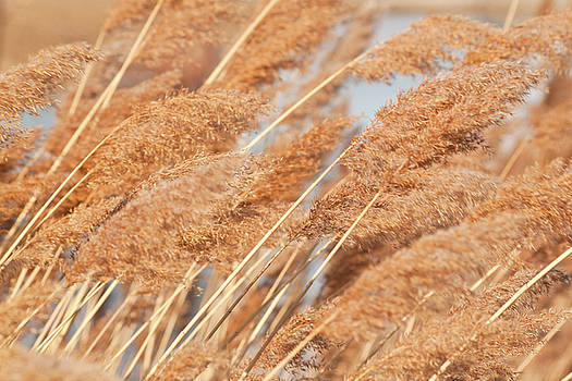 Grasses in Strong Wind by Christine Amstutz