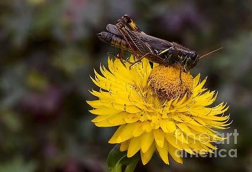 Grasshopper on Flower by Elaine Manley