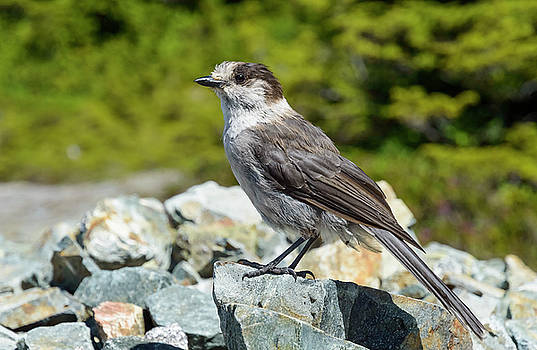Gray Jay, Canada's National Bird by Kathy King