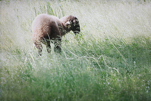 Grazing Lamb by Angie Rea