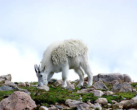 Grazing Mountain Goat on Mount Evans Colorado by D Winston