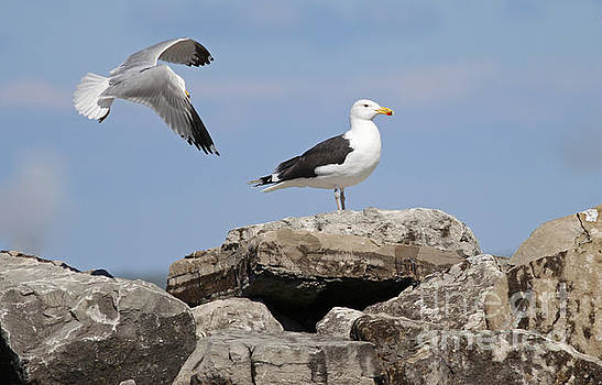 Great Black-backed Gull by Debbie Parker