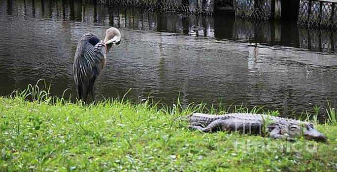 Paulette Thomas - Great Blue Heron and Alligator