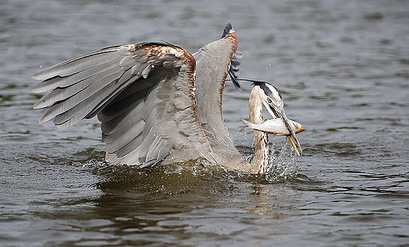 Great Blue Heron and fish by Jack Nevitt