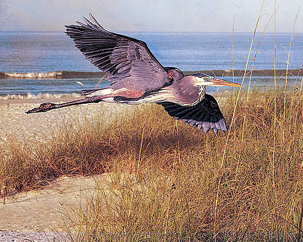 Great Blue Heron at the beach by Brian Tarr