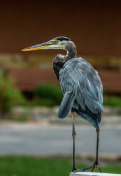 Great Blue Heron by Bob Marquis