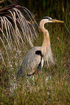 Great Blue Heron by Brent L Ander