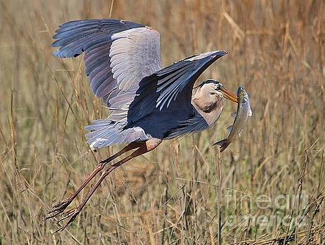 Paulette Thomas - Great Blue Heron Carrying a Huge Fish