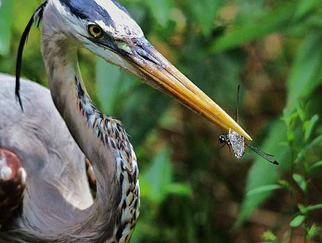 Paulette Thomas - Great Blue Heron Eating a Dragonfly