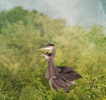 Kim Hojnacki - Great Blue Heron Fledglings
