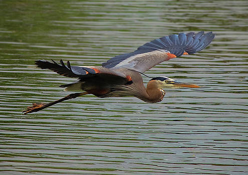 Great Blue Heron in Flight 2 by Ron Grafe