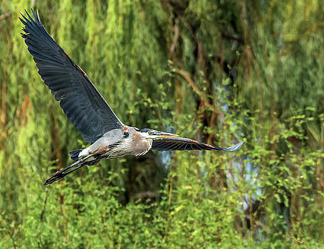 Great Blue Heron in Flight by Tam Ryan