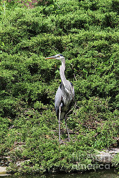 Great Blue Heron by Judy Whitton