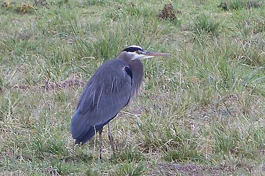 Great Blue Heron by Julie Bell