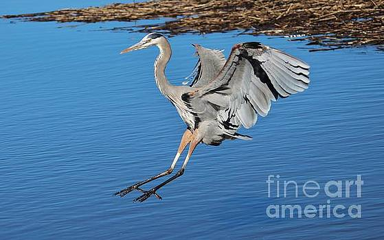 Paulette Thomas - Great Blue Heron Landing In The Marsh