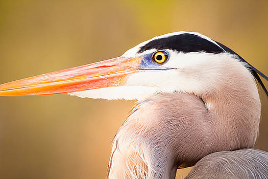 Michael McStamp - Great Blue Heron