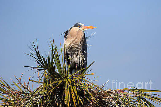 Great Blue Heron on nest in a palm tree by Louise Heusinkveld