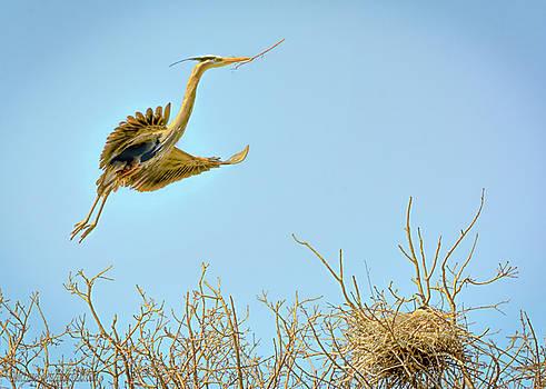 Great Blue Heron on nest by LeeAnn McLaneGoetz McLaneGoetzStudioLLCcom