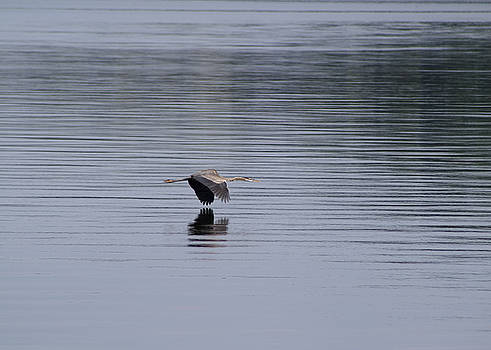 Great Blue Heron Over Lake Guntersville by Kathy Clark