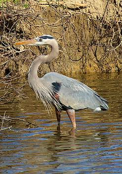 Great Blue Heron by Ron Grafe