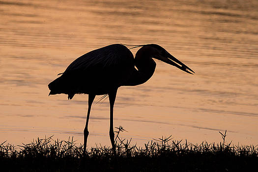 Great Blue Heron Silhouette by Stephanie McDowell