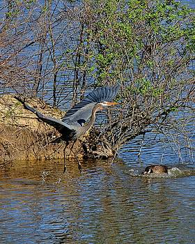 Great Blue Heron takeoff by Ron Grafe
