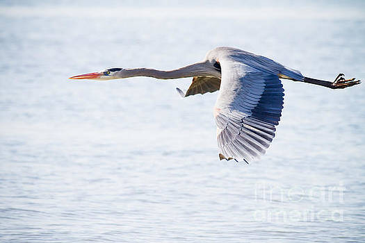 Michael McStamp - Great Blue in Flight No. 7