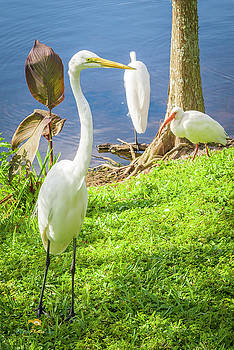 Great Egret 1 by Jim Thompson