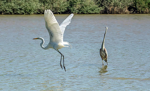 Great Egret and Great Blue Heron by Tam Ryan