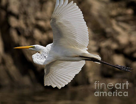 Great Egret by Douglas Stucky