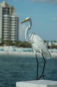 Great Egret by Greg Thiemeyer
