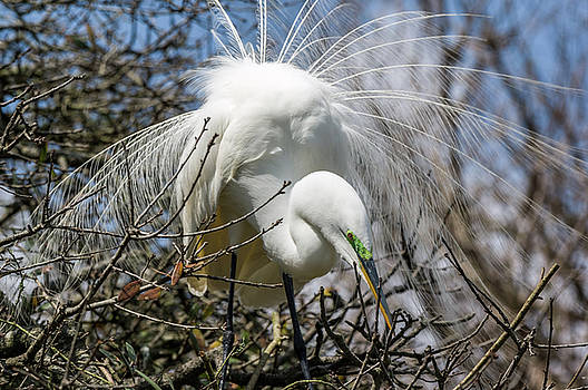 Great Egret by Gregg Southard