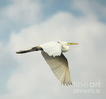 Great Egret In Flight by Robert Frederick