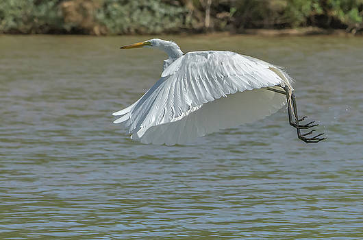 Great Egret in Flight by Tam Ryan
