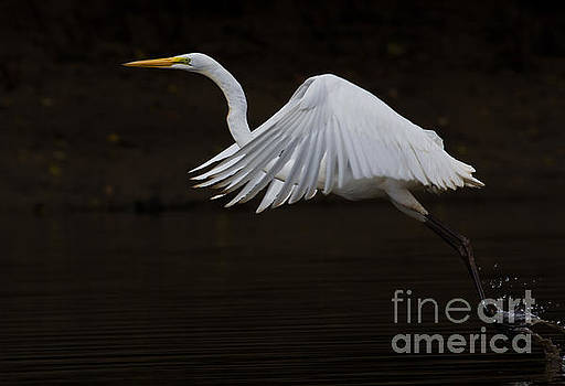 Great Egret the Fifth by Douglas Stucky